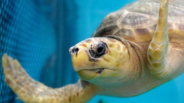 Sea Turtle Rescue Season Starts on Cape Cod Beaches