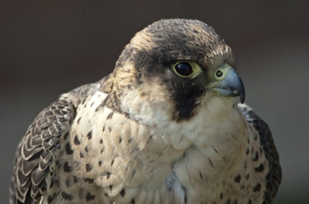 Some Vt. Cliffs Closed to Protect Nesting Peregrine Falcons