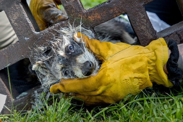 Tricky Situation: Raccoon Gets Stuck in Storm Grate