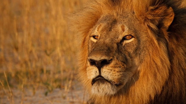 Outcry Over the Killing of Cecil