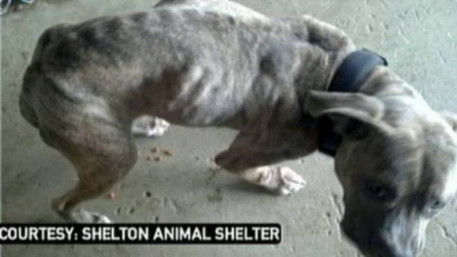 Malnourished Dog Found Dragging 15-foot Chain in Shelton, Conn.