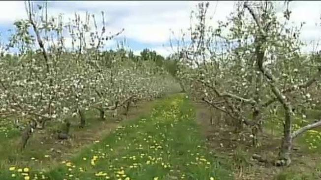 Weather Week: Peaches in Maine?