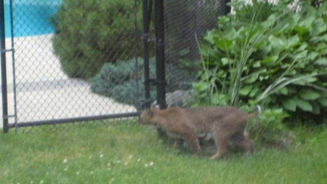 2nd Bobcat Sighting Reported in Less Than a Week