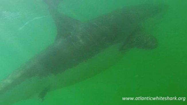 Great White Shark Season