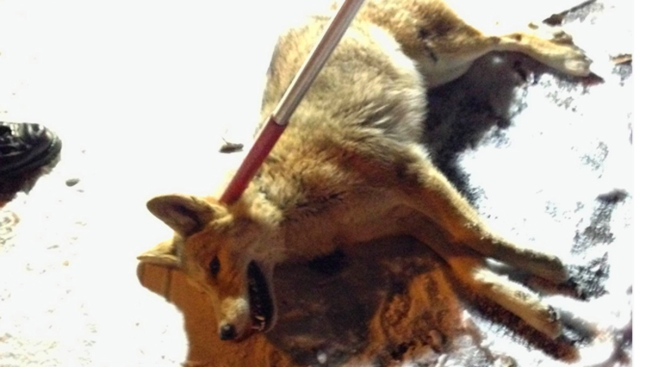 Police Nab Coyote in Manhattan Housing Complex