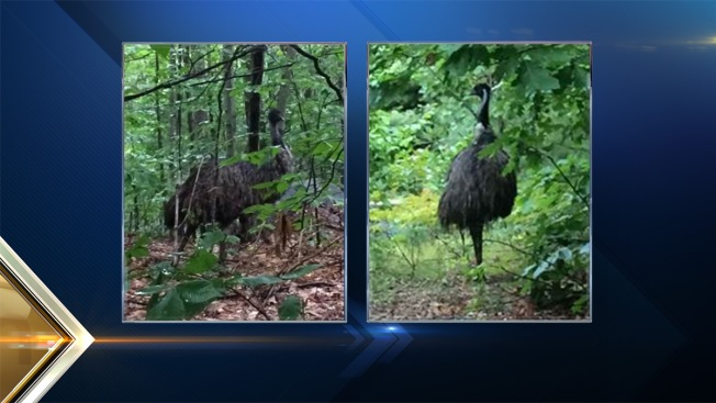 Father, Son Use Net to Capture Emu in New Hampshire