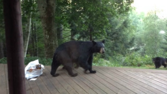 Bear Cubs Orphaned By Hunter in New Hampshire