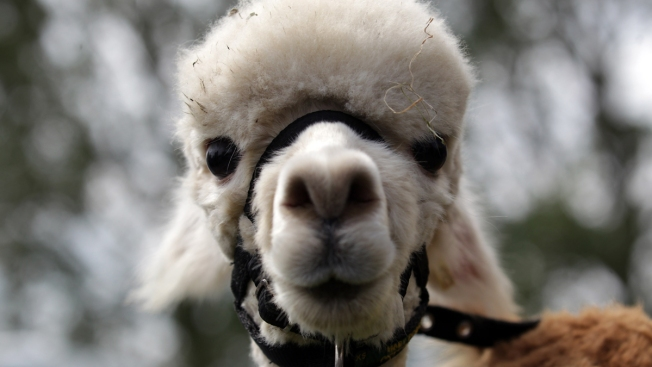 Llama on the lam: Trooper lassos llama loose on roadway