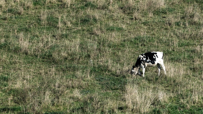 Death by Manure, Wisconsin Farmer, 13 Cows Overcome by 'Deadly' Fumes
