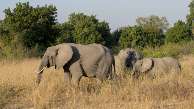 Trump Administration Lifts Ban on Importing Trophy Elephant Heads