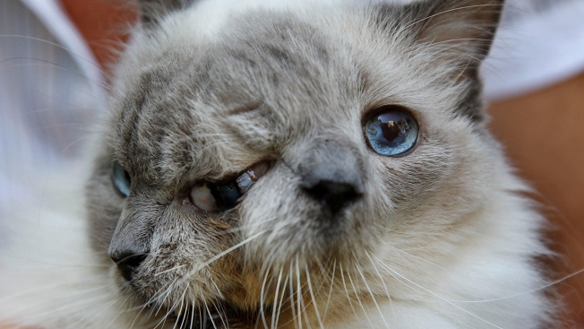 2-Faced Cat With Only 9 Lives Dies at 15