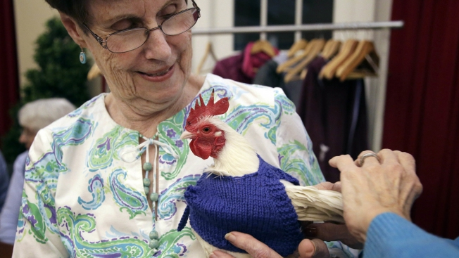 Retirees Knitting Sweaters for Chilly Chickens