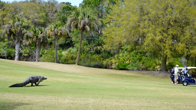 Photo Op Turns Into Chance Encounter With Big Gator on Links