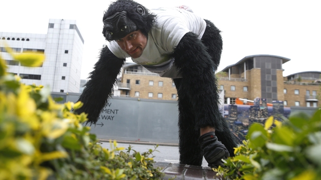 After 6 Days, Man in Gorilla Suit Done Crawling the London Marathon