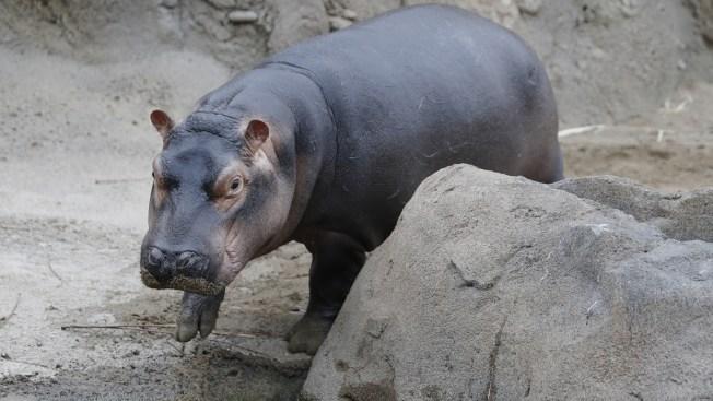 Famed Hippo Fiona of Cincinnati Zoo Hits Big Milestone After Premature Birth