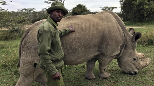 'A Race Against Time': Scientists Hope to Save Northern White Rhino From Extinction