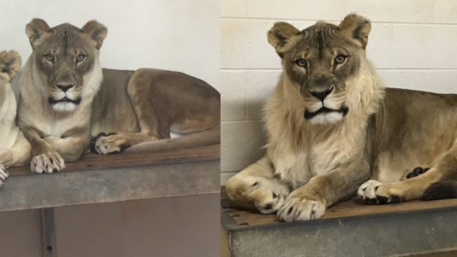 Mysteriously Maned Female Lion Has Died at Oklahoma City Zoo