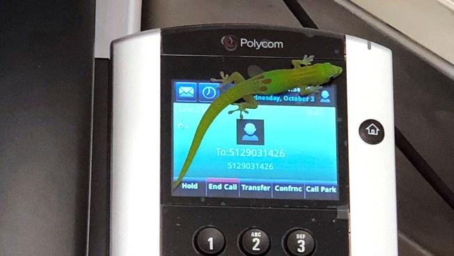 Gecko Butt-Dials 'Bazillion' Times From Hawaii Seal Hospital