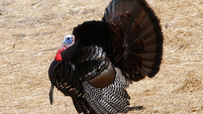 Rhode Island Officials: Report Your Turkey Sightings