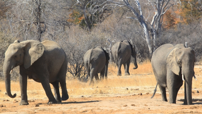 Trump Administration Once Again Lifts Elephant Trophy Ban