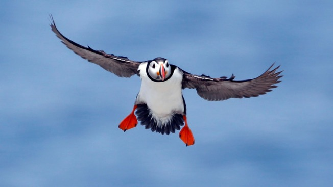 Scientists: Puffin Chicks Starving to Death in Maine