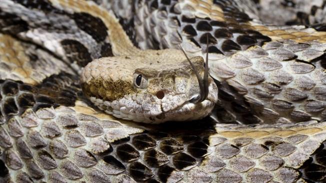Venomous Rattlesnake Found Near Massachusetts Go-Kart Track