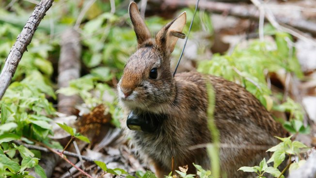 New England Cottontail Is Making a Comeback