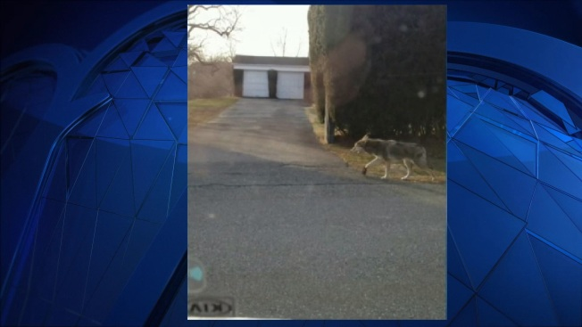 Wildlife Officials Search For Coyote Spotted Walking With Leg Trap