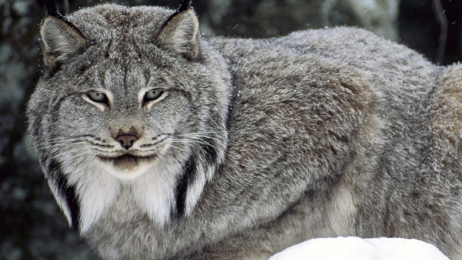 Maine Man Comes Across Pair of Canada Lynx Facing Off on Road