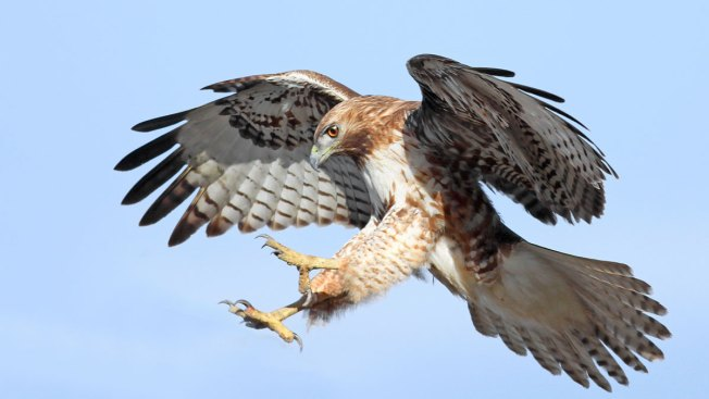 Man Faces Sentencing for Killing Hawks in Connecticut