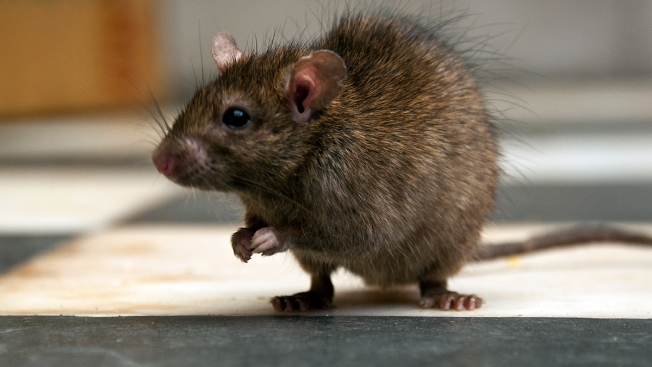 Boston is 2nd Most Rat-Infested City in US