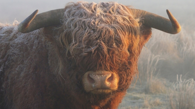 Man Dies in Crash With Escaped Bull