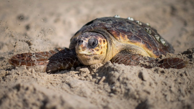 8,000 Sea Turtle Nests Washed Out by Dorian in Florida: Survey