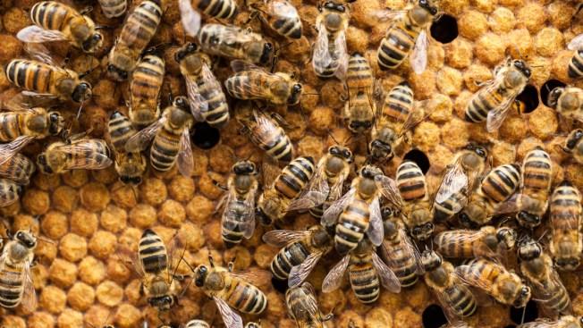Over 500,000 Bees Die in Texas Hive Fires; Vandalism Probed