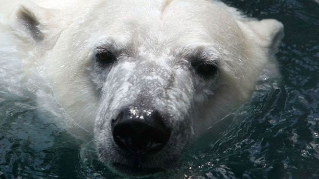 Polar Bears Trap Meteorologists in Russia