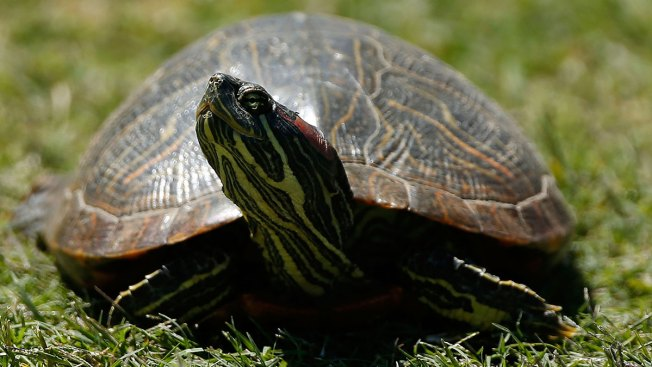 Wildlife Officials Launch Project to Conserve Wood Turtles