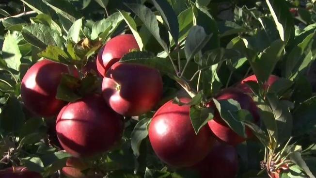 Maine Recognizes 'Apple Whisperer' for Preserving Fruit