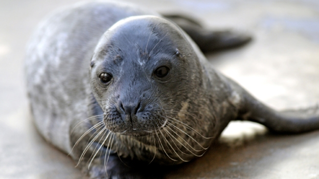 Harbor Seal Pups Rescued by Mystic Aquarium Released off Coast of Rhode Island