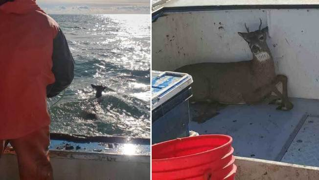 Oh Deer! Fishermen Make Unusual Catch 5 Miles Off Maine