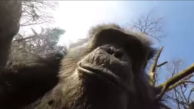 Chimp Swats Down Intrusive Drone at Dutch Zoo