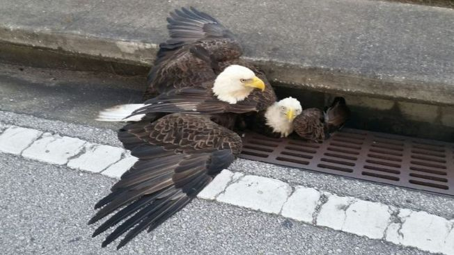 Bald Eagle Dies After Rescue From Florida Storm Drain