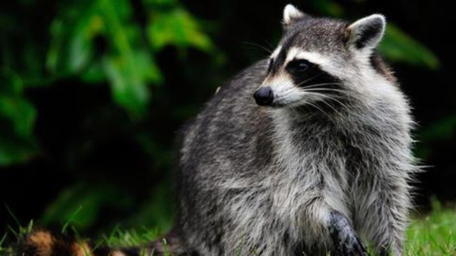 Rabies-Infected Raccoon Found Near Park Restroom