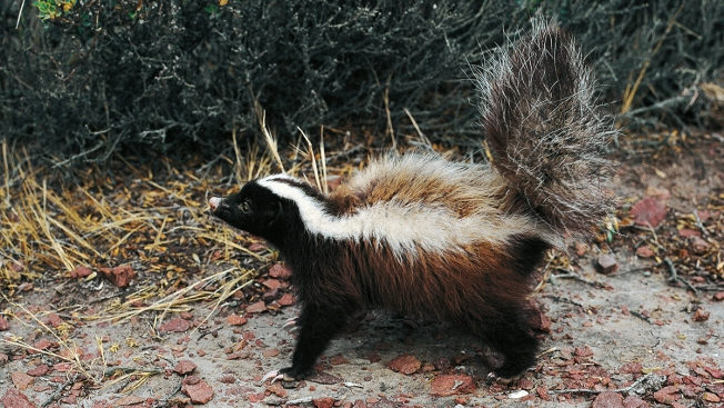Skunk in Waterford Tests Positive for Rabies