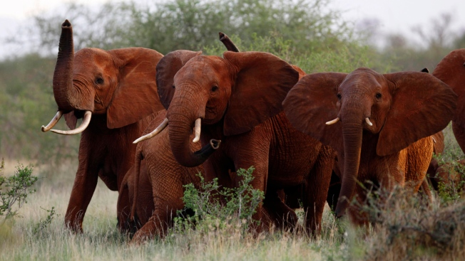 Trump Administration Reverses Ban on Elephant Trophy Imports