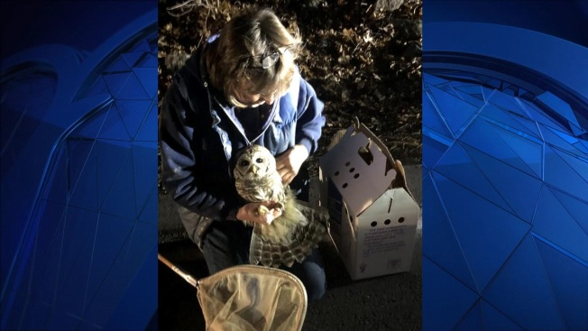 Owl Struck by Car in Wayland, Mass.