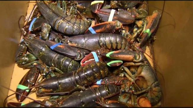 Right Whales Causing Delay for Catching Lobsters