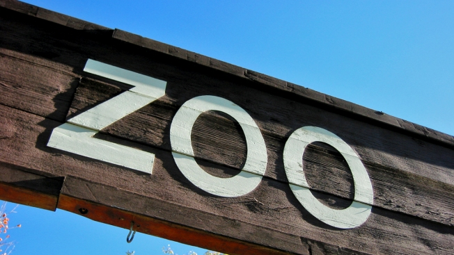 Jaguar Escapes Enclosure, Severely Injures Spider Monkey at Texas Zoo