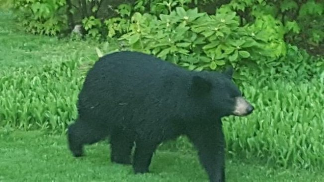 Bear on the Loose in Manchester, NH, Neighborhood