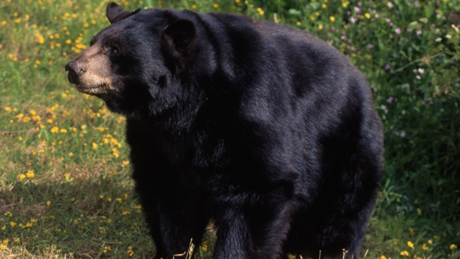Animal Control: Beware of Black Bears in Billerica