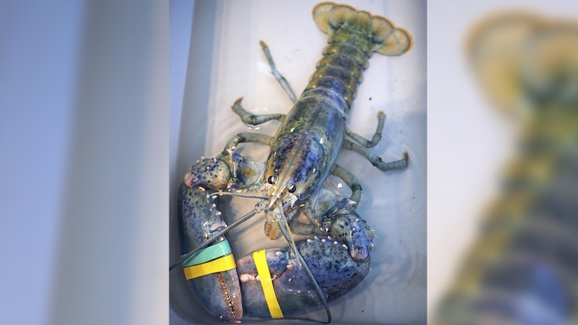 Man Beats Odds of Catching Blue Lobster, Donates It to Science